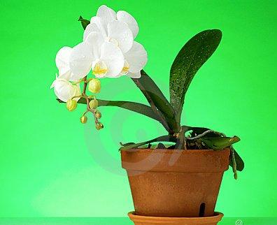 phalaenipsis 2