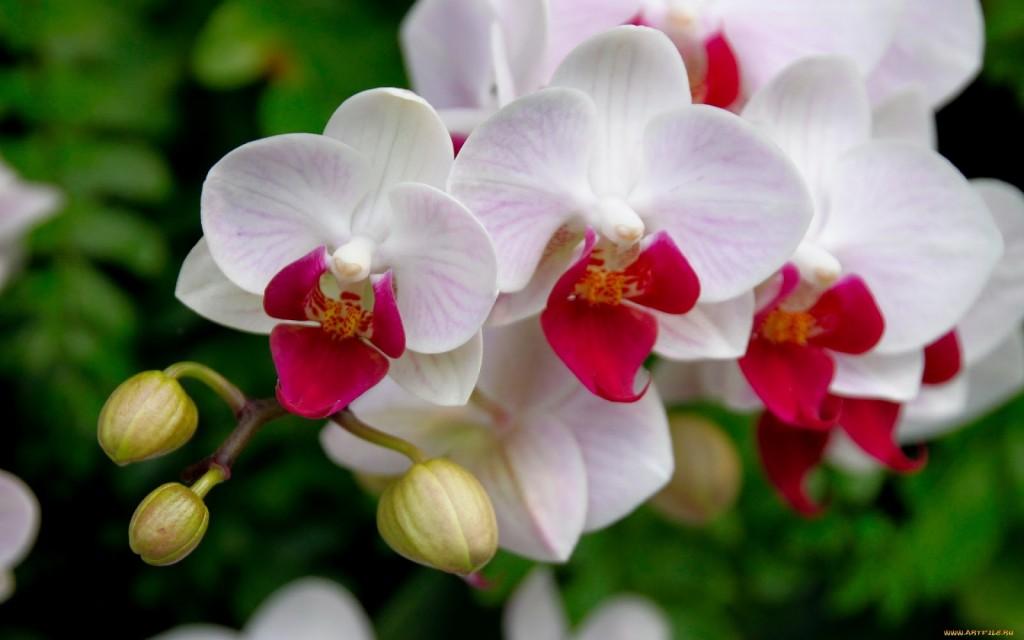 phalaenopsis-1