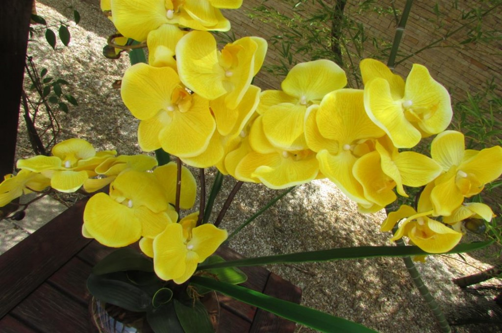 phalaenopsis amarela