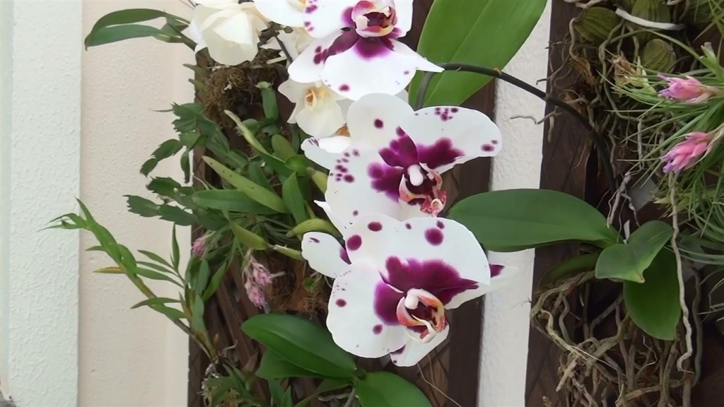 phalaenopsis pintada