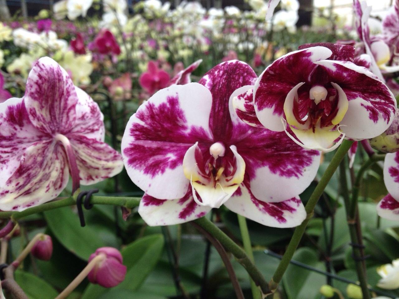 phalaenopsis111