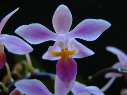 phalaenopsis_equestris1