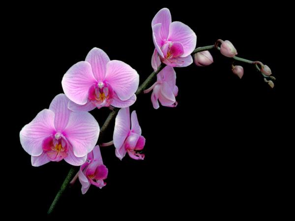phalaenopsis_pink
