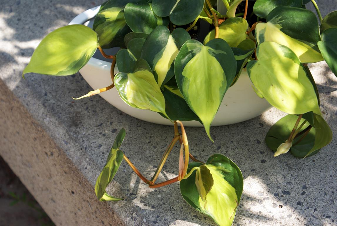 philodendron-hederaceum-brazil