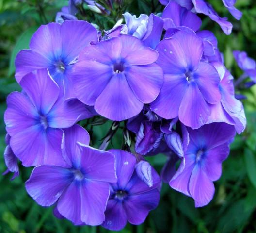 phlox-paniculata-blue-paradise
