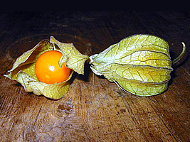 physalis_sp