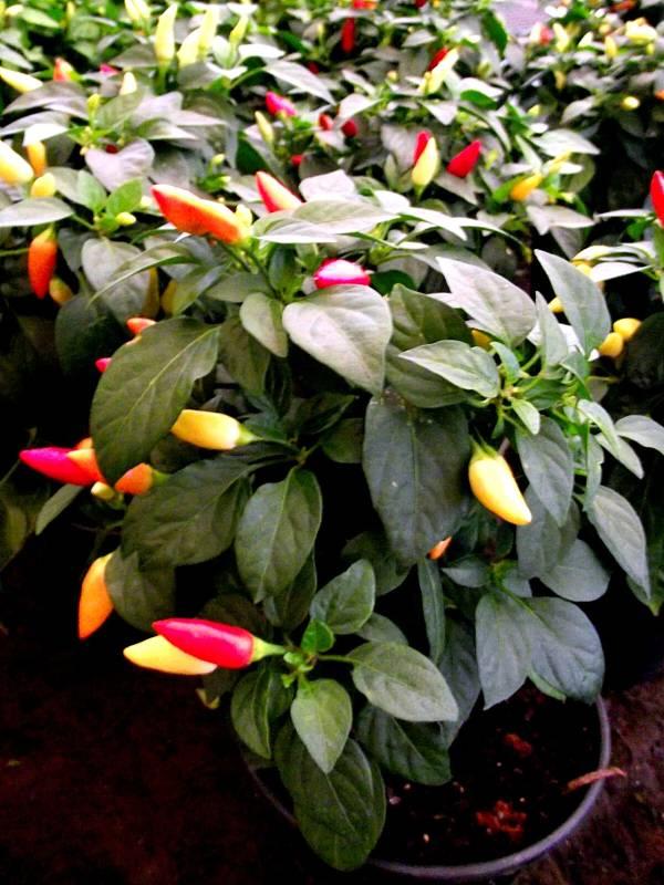 pimenta-capsicum-2