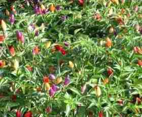 pimenta ornamental
