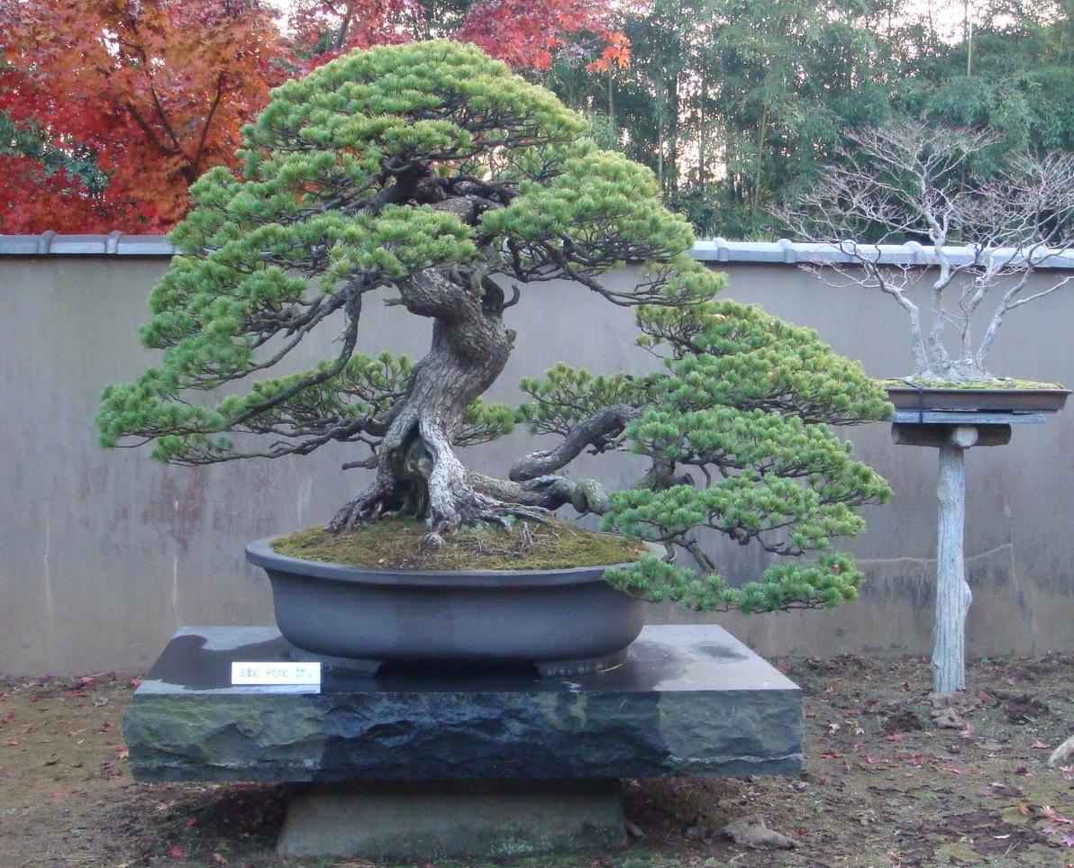 pinheiro branco japones (pentaphyla)