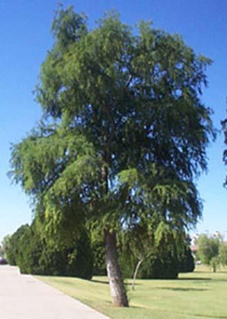 pinheiro-do-brejo (taxodium)