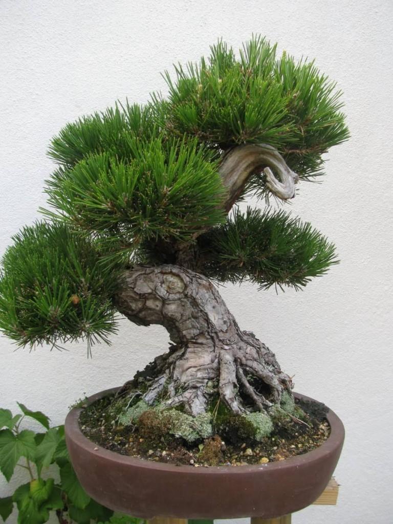 pinheiro-japones