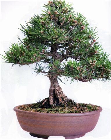 pinus thunbergiia