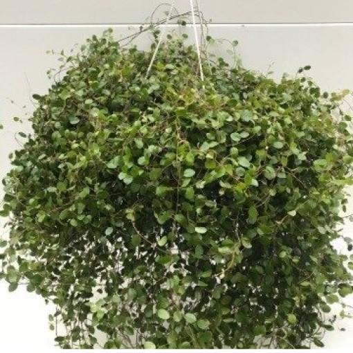 planta-arame-muehlenbeckia-complexa