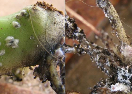planta atacada por cochonilhas