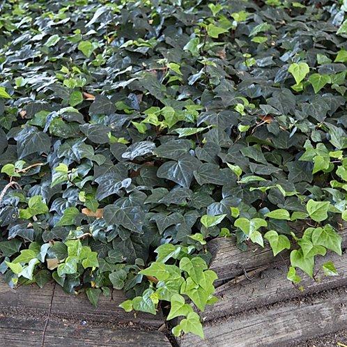 planta de forração