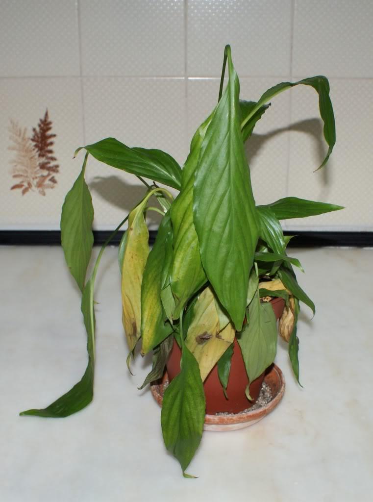 planta murcha