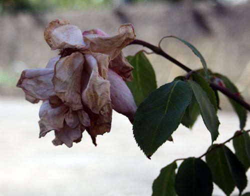 planta-murcha