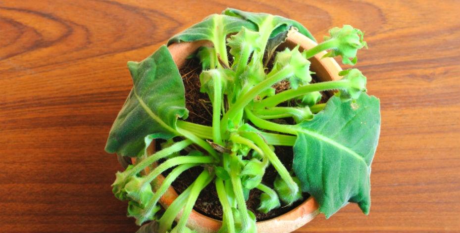 planta-murchando
