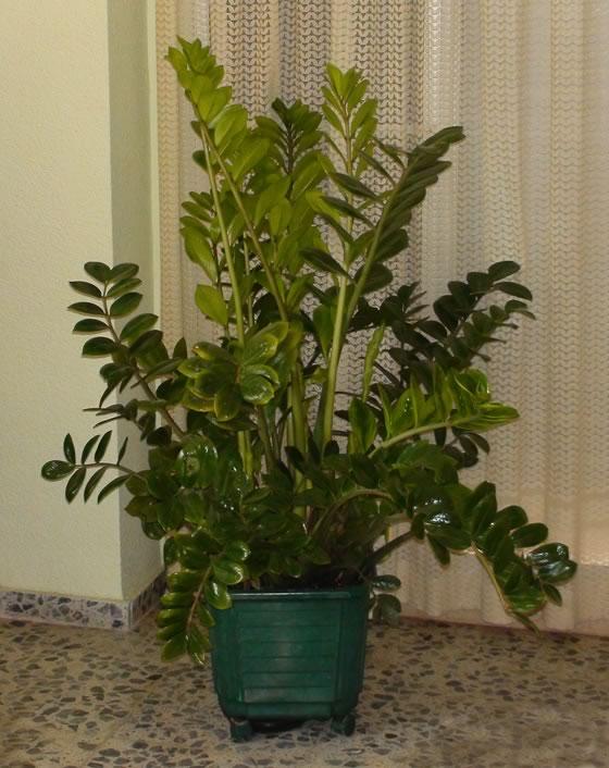 planta-zamioculca-2
