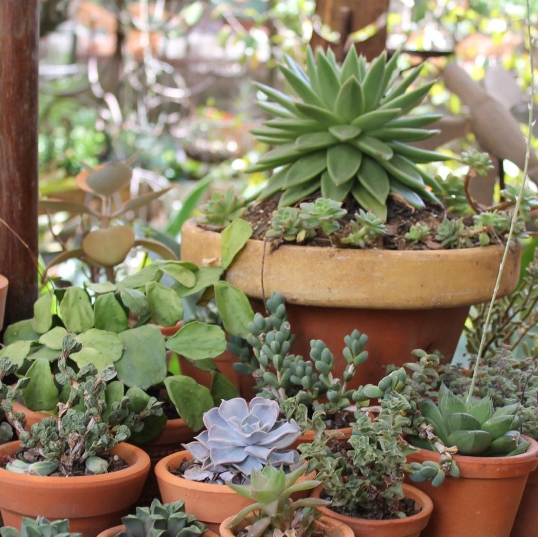 plantaas suculentas