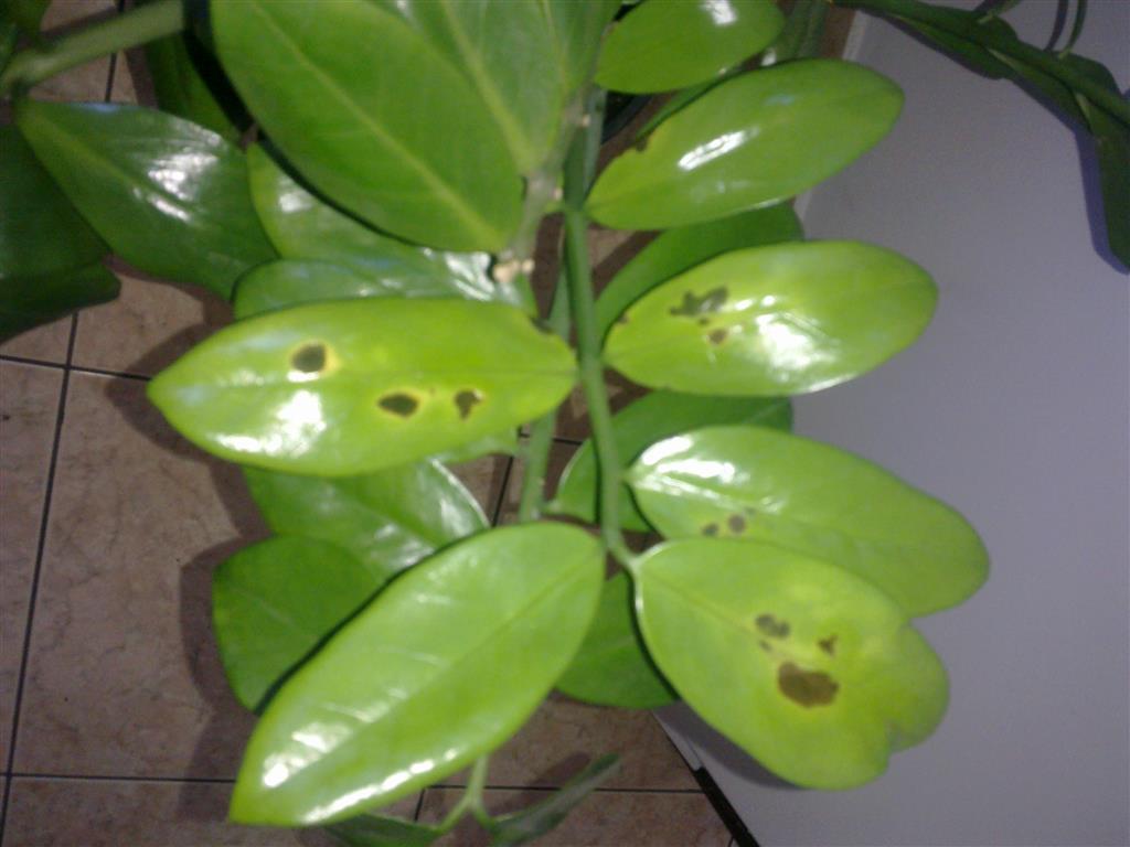 plantaatacada