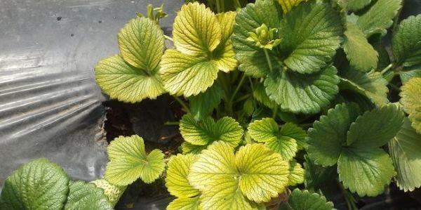 plantas-amarelas