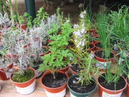 plantas-aromaticas-e-medicinais