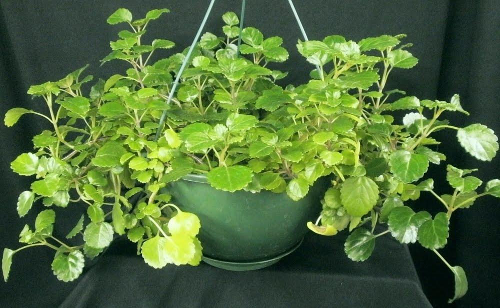 plectranthus nummularius