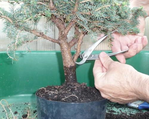 poda-bonsai