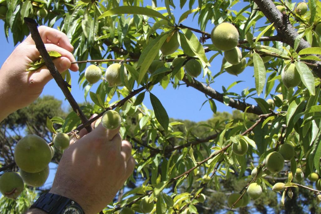 poda-de-frutífera
