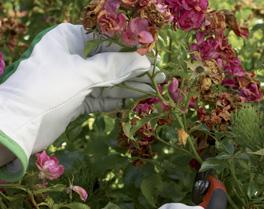 Taille des Roses fanées en cours de saison