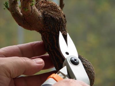 podar-bonsai
