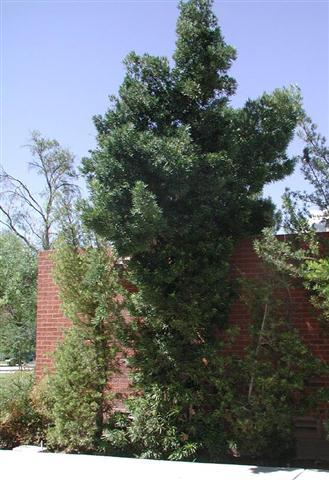 podocarpus macrophyllus (Small)