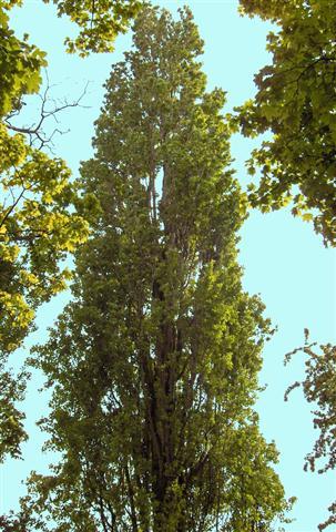 populus nigra (Small)
