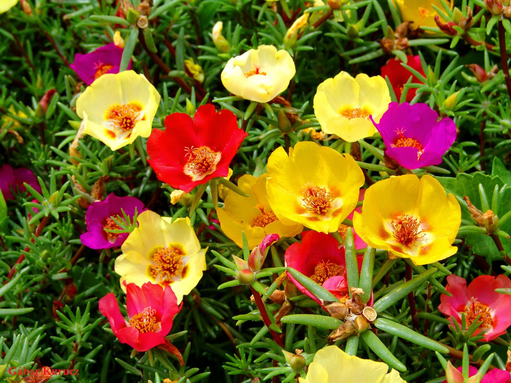 portulaca grandiflora 9