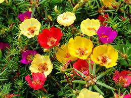 portulavagrandiflora