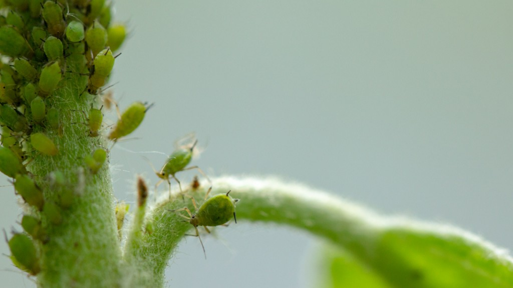 Aphid, A Pest, On An Apple Tree Branch. The Insect Feeds On The
