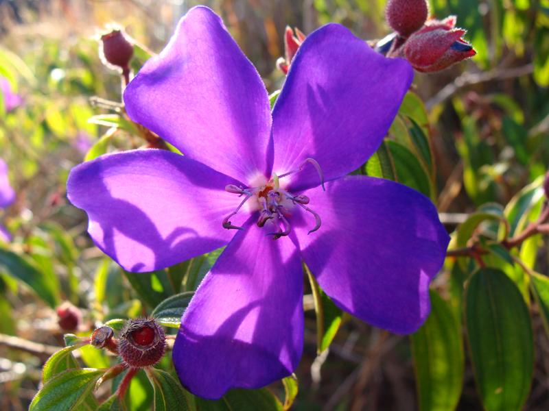 quaaresmeira-flor