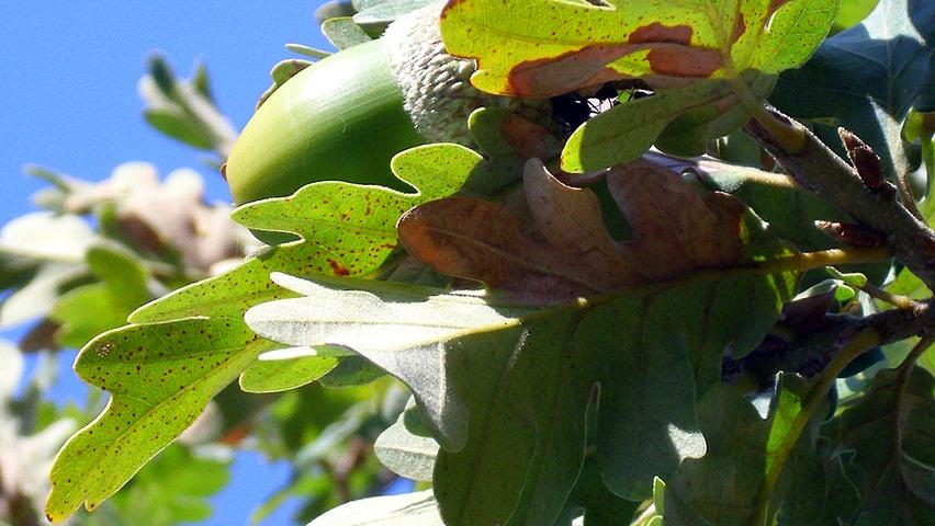 quercus-pyrenaica