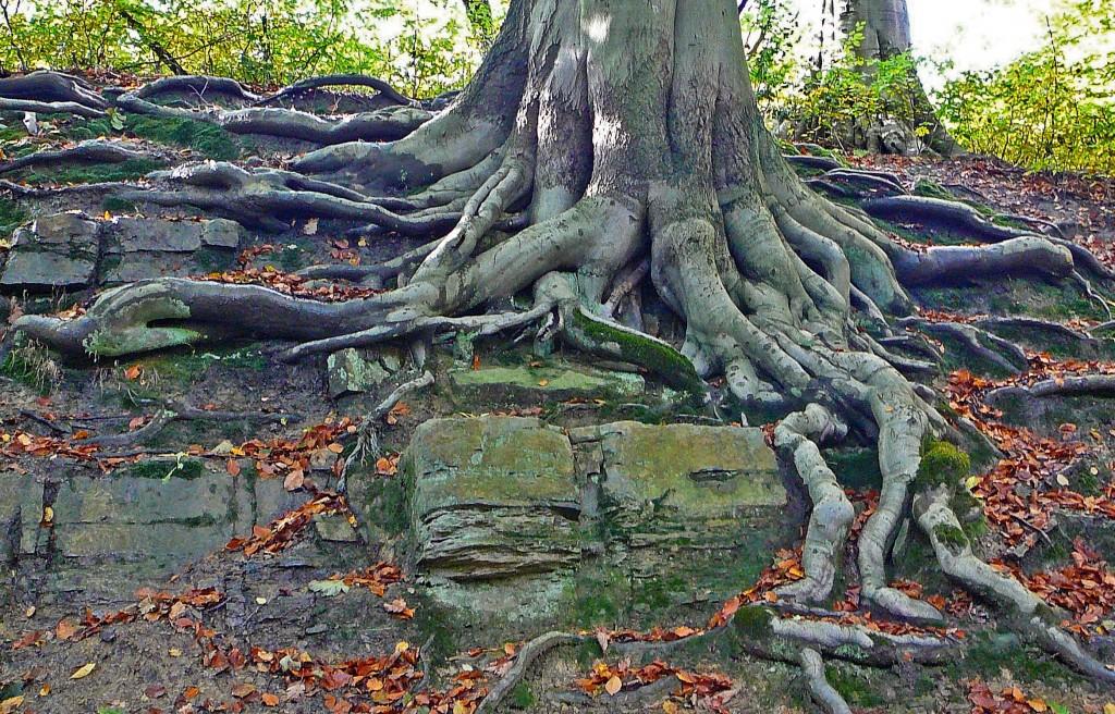 raíz agressiva