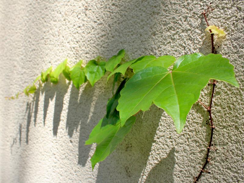 raízes Parthenocissus-tricuspidata-01