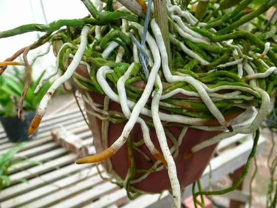 raízes-de-orquídeas