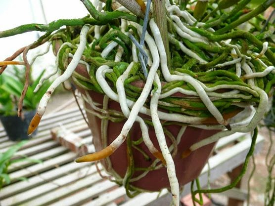 raízes saudáveis
