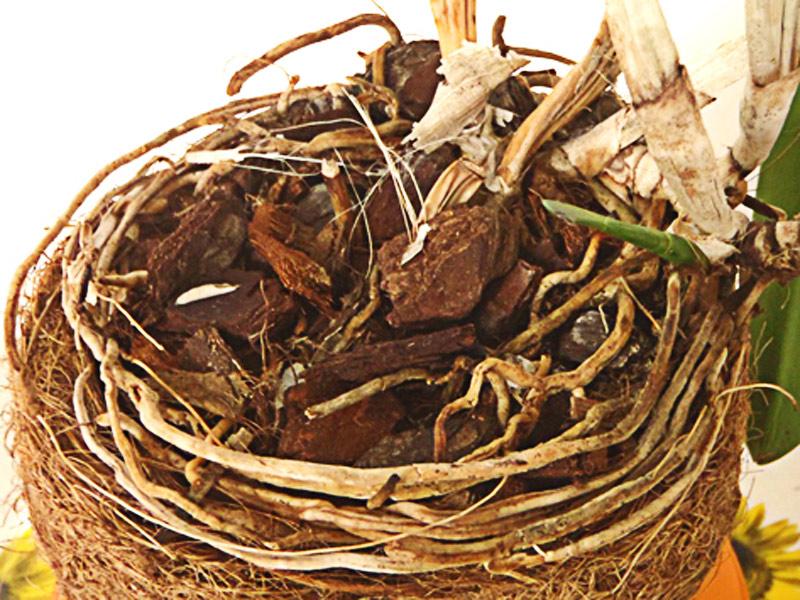raízes secas