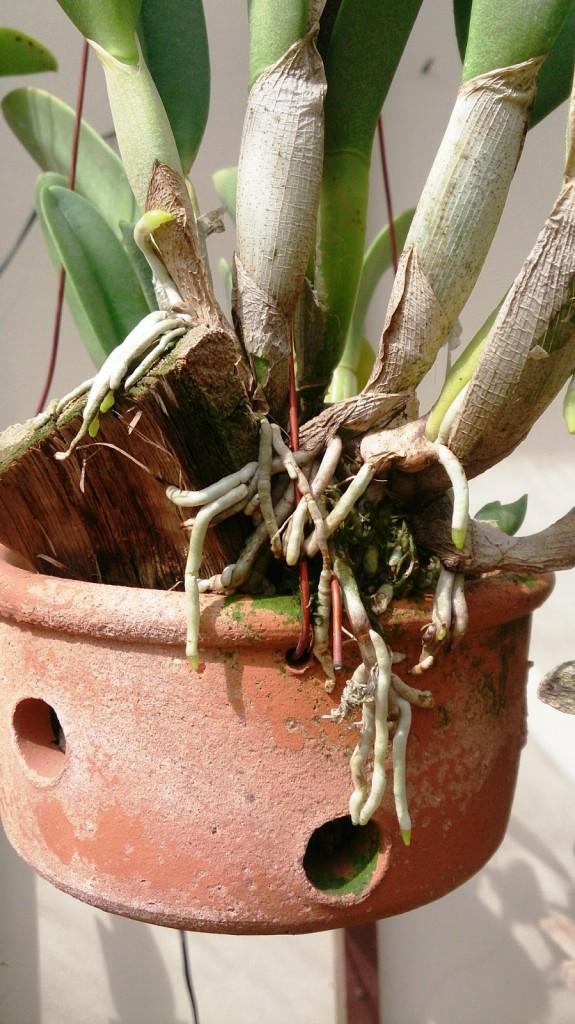 raízes1