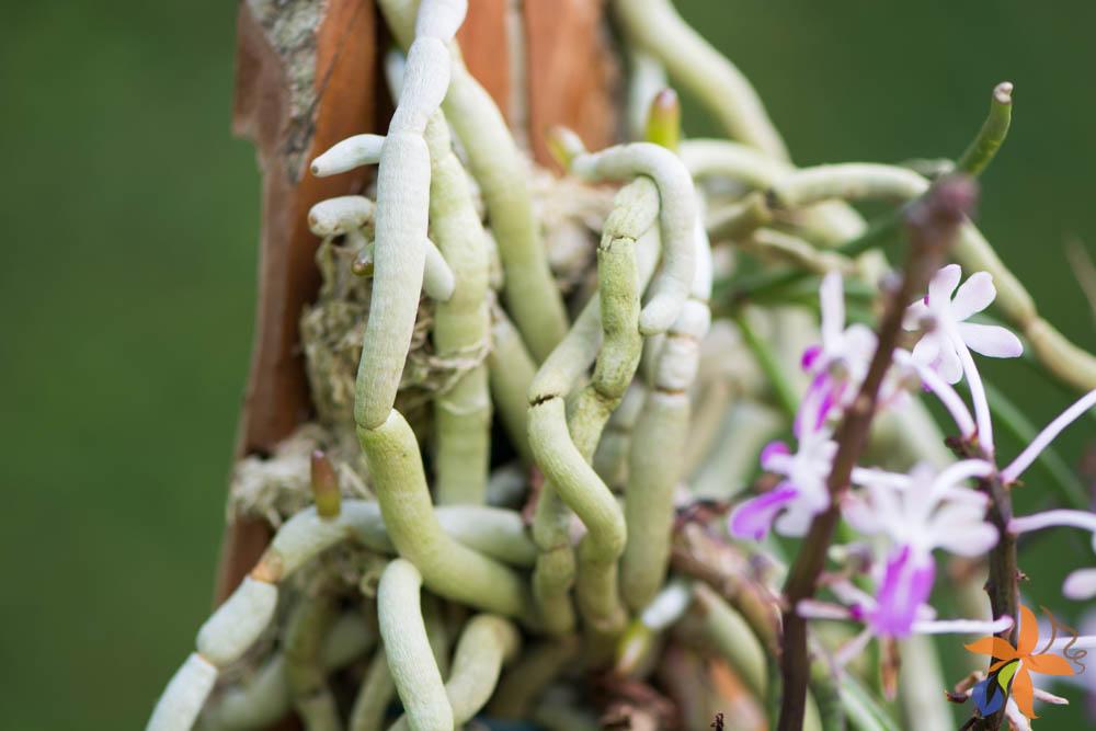 raízes