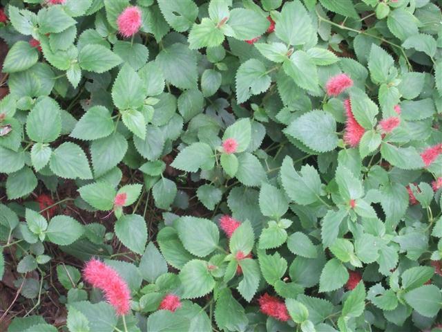 rabo-de-gato (Acalypha reptans)