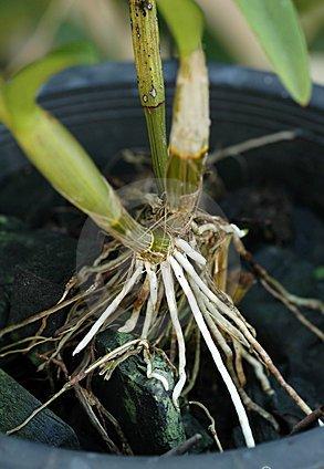 raizes-de-phalaenopsis