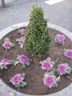 repolho_ornamental