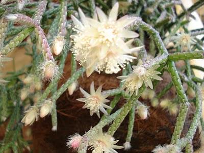 ripsalis-flor
